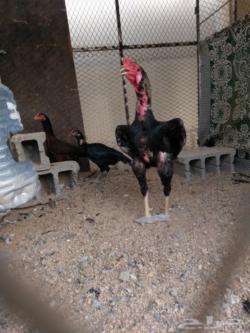 ديك باكستاني ودجاجه