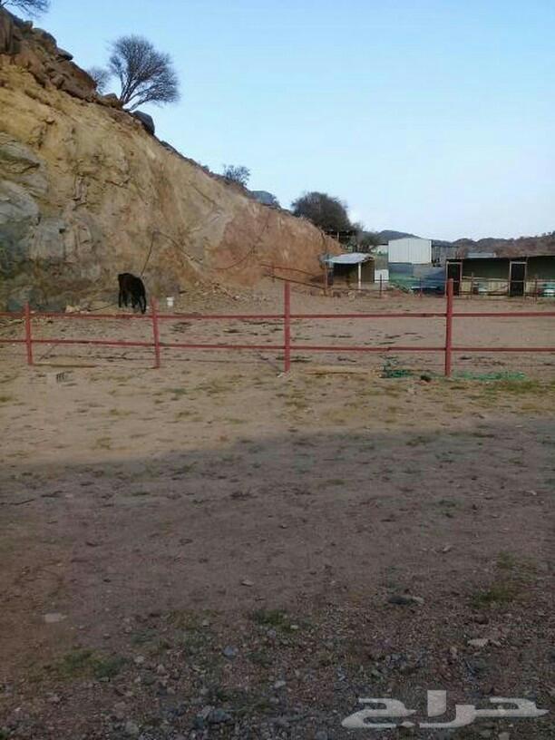 اصطبل خيول للايجار الشهري والسنوي