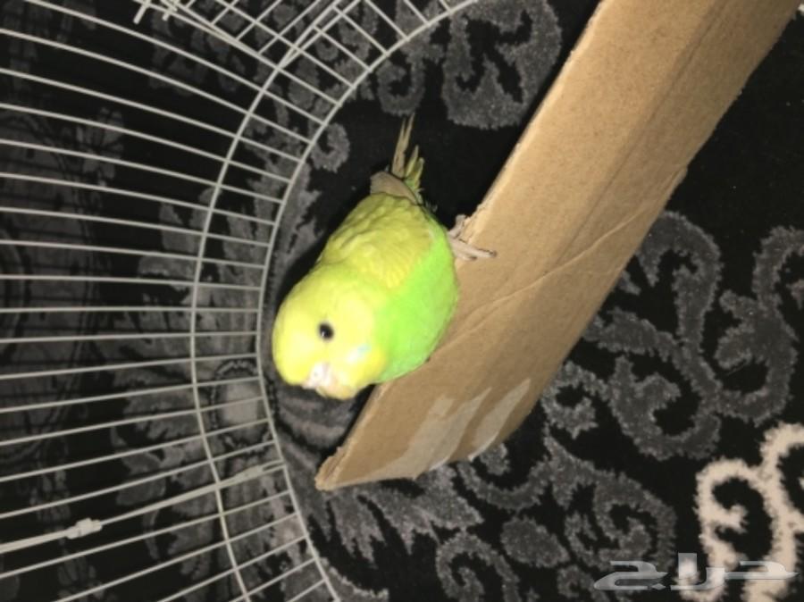 طير الحب انثى