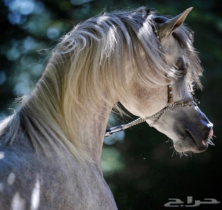 حصان عربي اصيل العمر 3 سنين