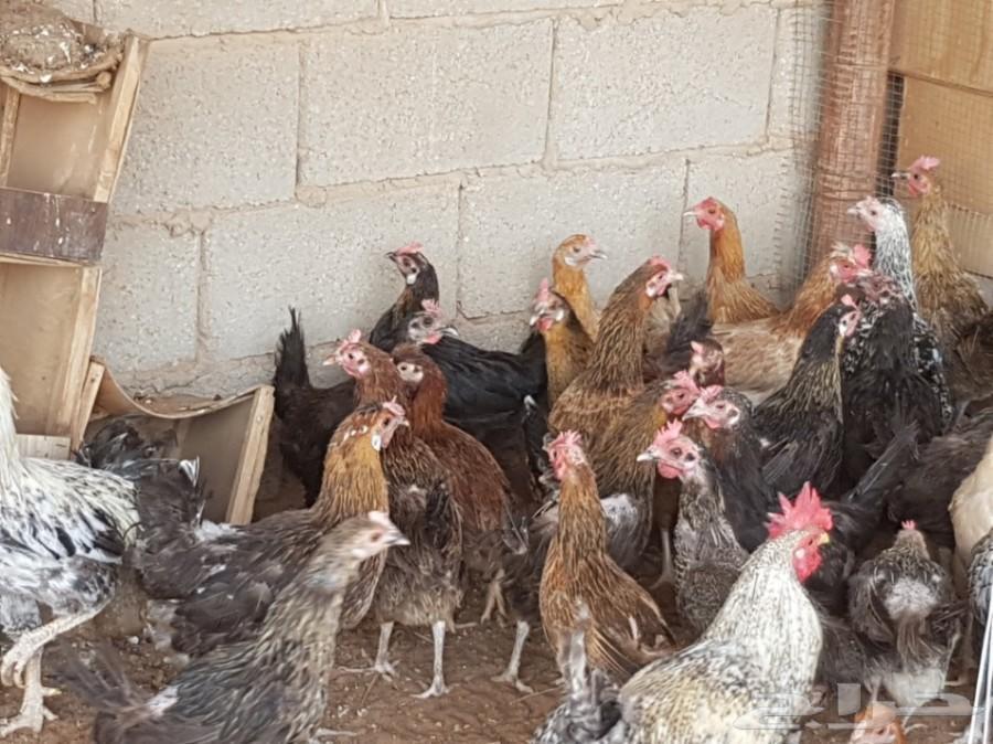 للبيع دجاج بلدي
