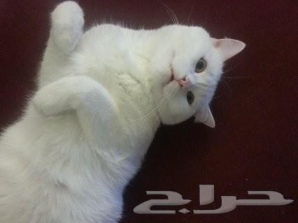 بيع قطه حفر الباطن