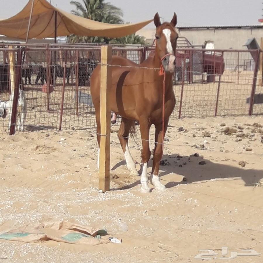 للبيع حصان شعبي هادي جدا