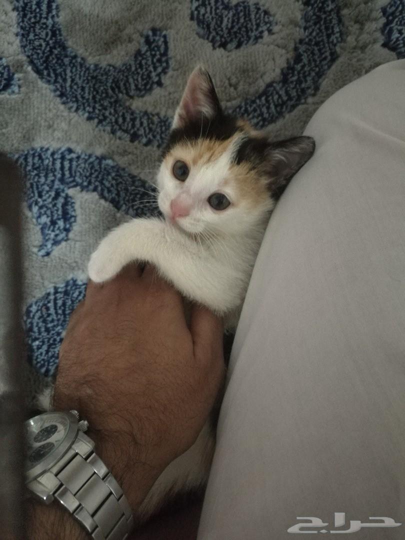 قطه زي العسل