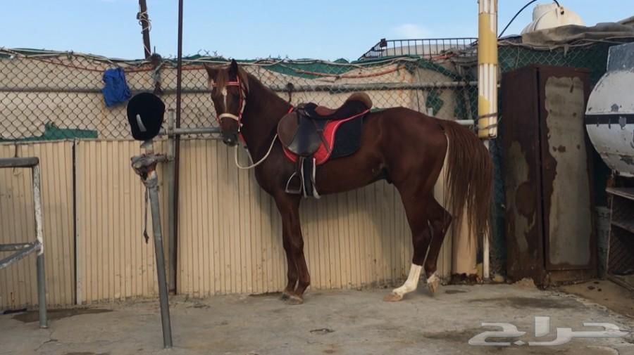 حصان جزيري شعبي للبيع