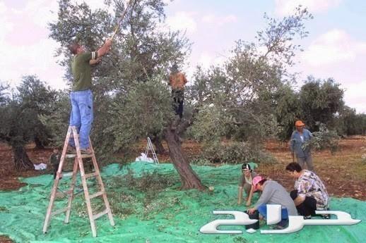 زيت زيتون فلسطيني عصرة أولى بكر ممتاز جديد