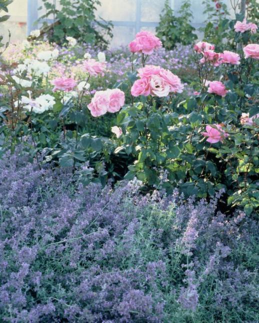 Rosiers les plus belles associations - Rouille rosier traitement naturel ...
