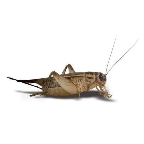 crickets__50793.1495635447.1280.1280__79417.1495802193.1280.1280__82800.1495802654.500.750.jpg
