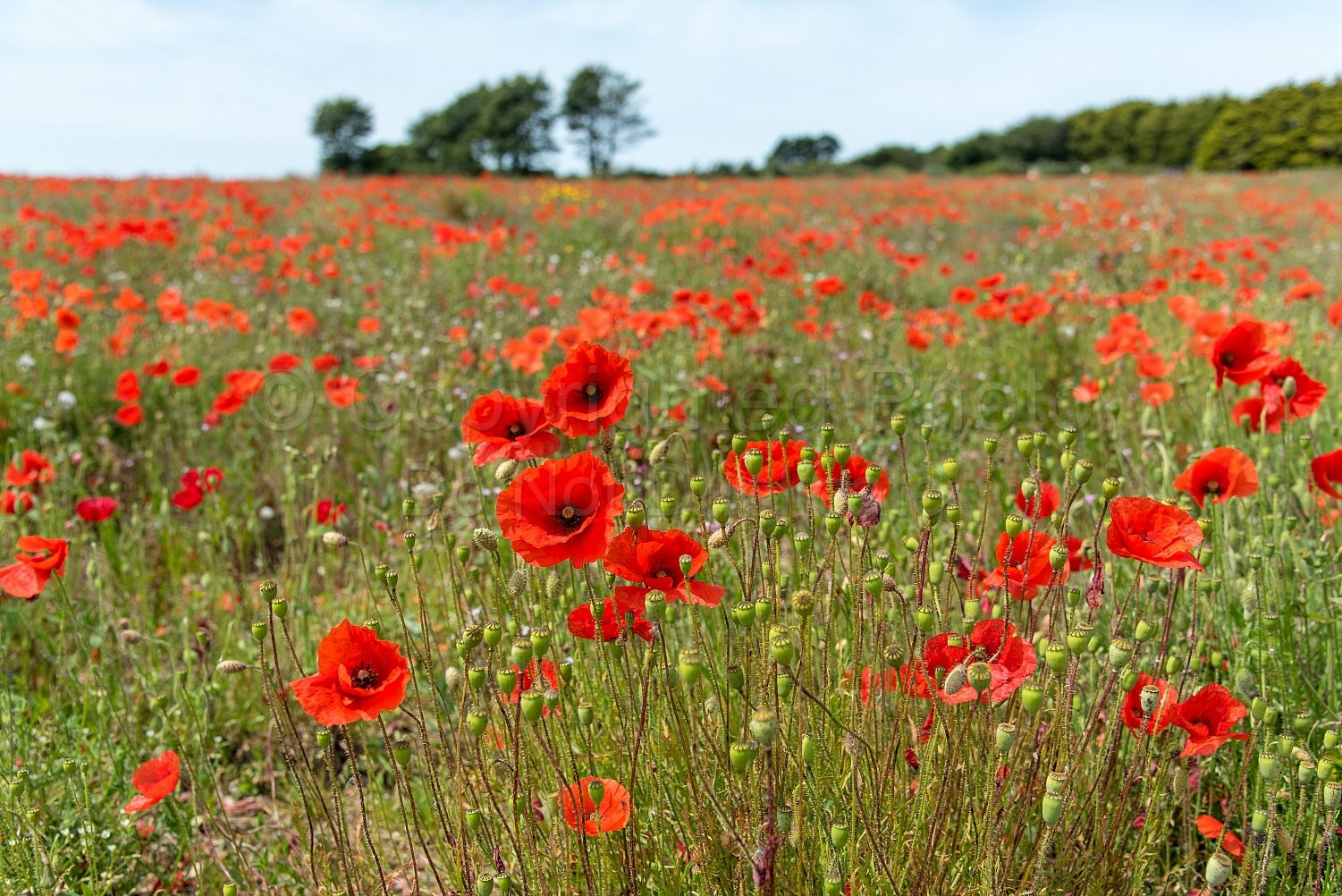 Poppies dancing in the fields