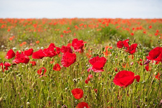 Fields of poppies newquay