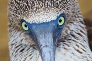 Close-up of a blue footed booby, Galapagos