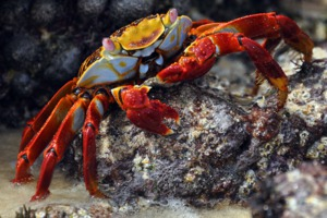 Red cliff crab, Galapagos