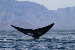 Blue whale, Sea of Cortez