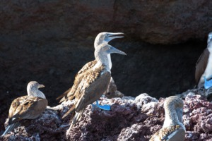 Blue-footed boobies on Isabela island, Galapagos