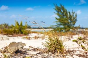 Iguana in Little Water Cay, Turks & Caicos