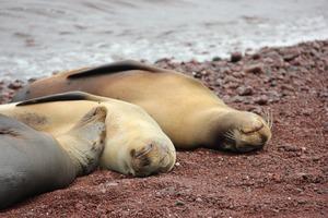 Sea lions on red sand beach on Rábida Island, Galapagos