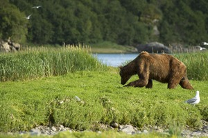 Grizzly bear in Geographic Harbor, Alaska