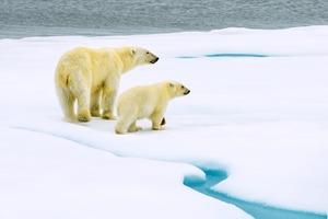 Polar bear with cub in Svalbard