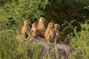 Baboons in Senegal