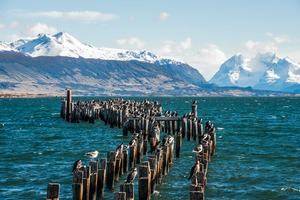 King cormorant colony in Puerto Natales, Chile