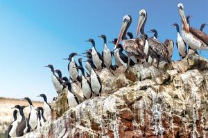 Pelicans and cormorants in the Ballestas Islands, Peru