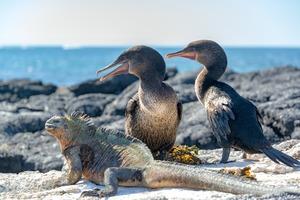 Flightless cormorants and marine iguaga on Fernandina Island, Galapagos