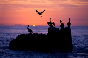 Pelicans off Cabo San Lucas, Mexico