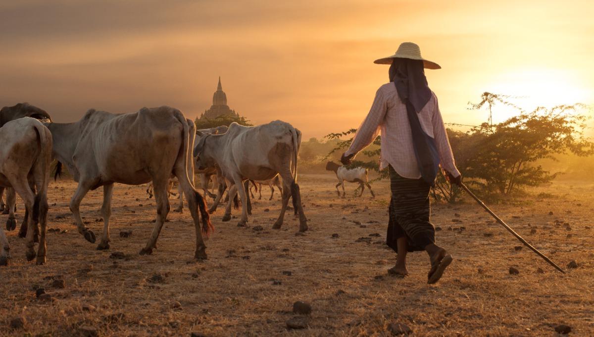 Herder at Bagan, Myanmar