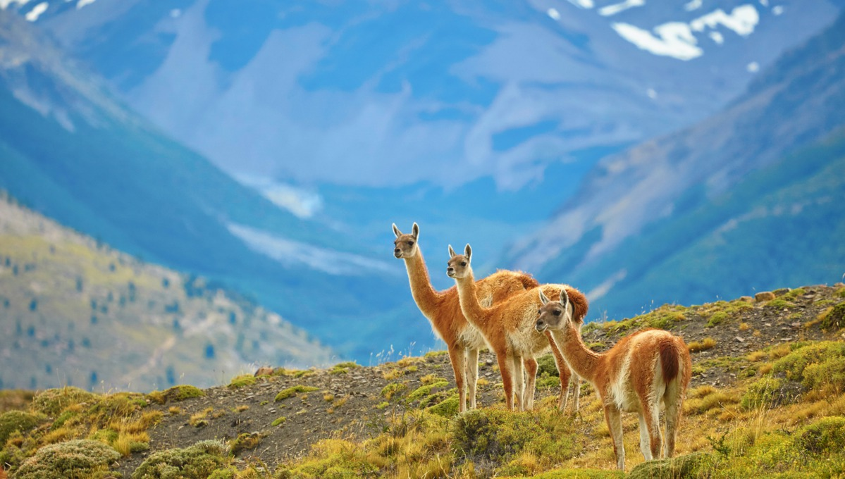 Guanacos in Torres del Paine National Park, one of the highlights of a Chilean Fjords and Patagonia cruise