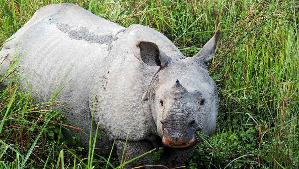 One horned rhino in Kaziranga National Park, India