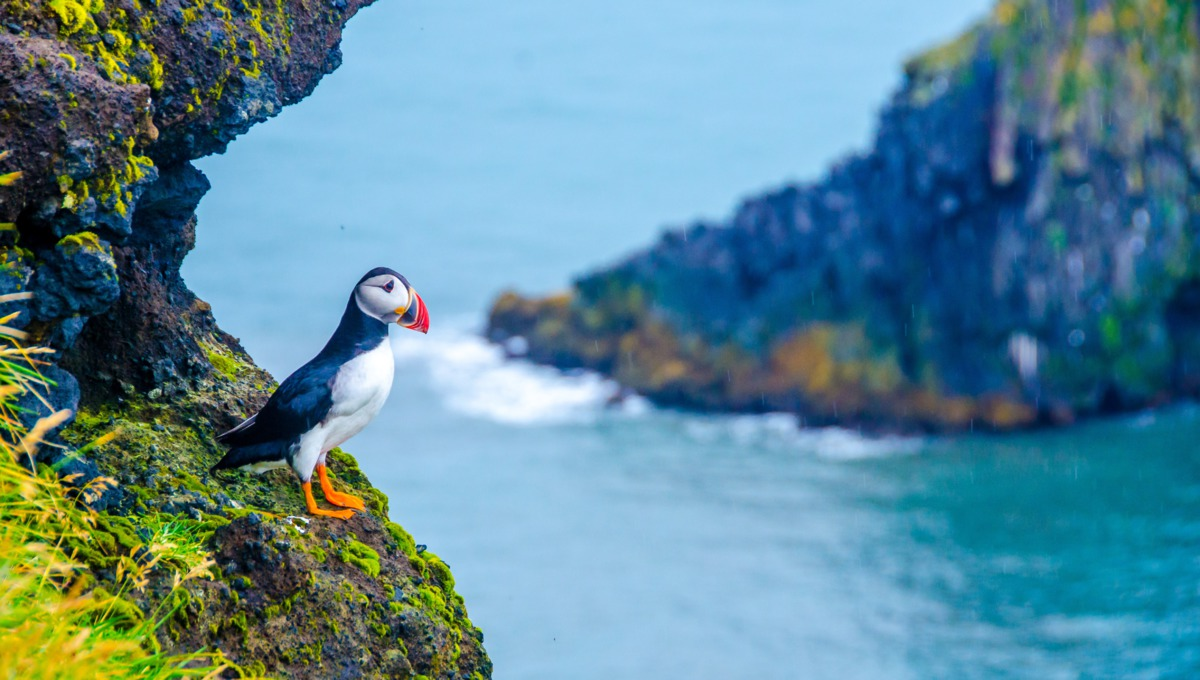 No fly cruises 2017 - See puffins in Iceland
