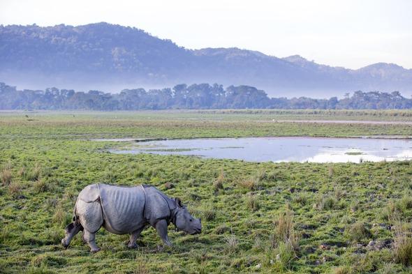 Rhinoceros in Kaziranga National Park, India
