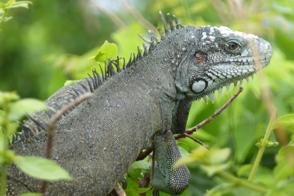 Iguana at Fort Napoléon in Terre-de-Haut, Guadeloupe