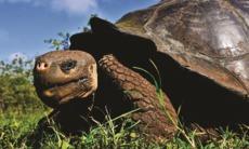 Giant tortoise, Galapagos