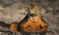Iguana in the Galapagos