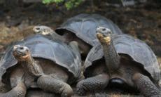 Giant tortoises, Galapagos
