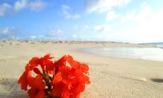 Flower on Eagle Beach, Aruba