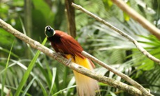 Bird of paradise, Papua New Guinea