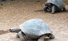 Giant tortoises on Isabela island, Galapagos