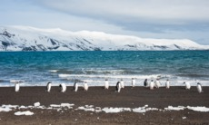 Gentoo penguins on Deception Island, Antarctica