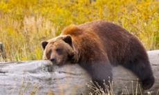 Alaska cruises - Grizzly bear