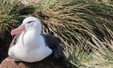 Black browed albatross in the Falkland Islands