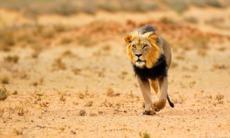 South Africa cruises - Black maned lion