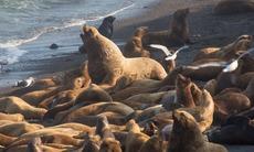 Northern fur seals on Tyuleniy Island, Russia