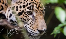 Jaguar in the jungle, Belize