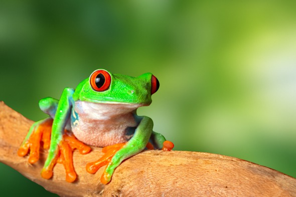 Costa Rica cruises - Red eyed tree frog