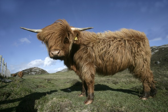 Highland cattle in Coll, Scotland
