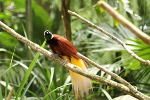 Bird of paradise, Papua New Guinea