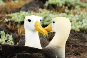 Yellow headed waved albatross, Galapagos