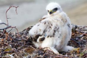 Rough legged buzzard chick on Novaya Zemlya, Russia